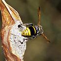 Mason wasp on a mud nest on a Palo Verde pod - Pachodynerus guadulpensis - female