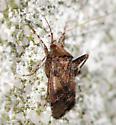 hairy Plant Bug - Phytocoris breviusculus