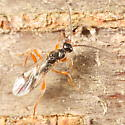 Orange-legged wasp - Exallonyx - male