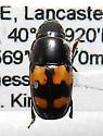 Glischrochilus fasciatus (Olivier, 1790) - Glischrochilus fasciatus