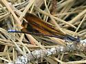 Variable Dancer - Argia fumipennis - male