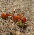 Unknown Ant - Pogonomyrmex maricopa