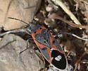 Uknown 'Bug' - Lygaeus kalmii