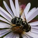 Robust Fly Dark Eyes Distinctly Marked Nectaring(?) on Aster - Eristalis dimidiata