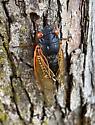 Brood X Cicadas - Magicicada