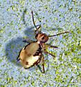 Ptenothrix - Ptenothrix maculosa