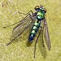 fly - Condylostylus longicornis
