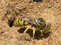Nesting Wasp - Glenostictia pictifrons - female