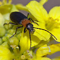 ID for a red and black beetle? - Asclera excavata