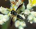 Wasp or mimic? - Physoconops