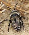 Burrowing Bee - Melecta separata