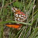 Gulf fritillaries mating. - Agraulis vanillae - male - female
