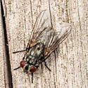Fly - Musca autumnalis