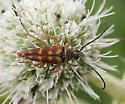 Beetle - Typocerus velutinus