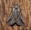 Moth - Oxycnemis fusimacula