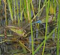 Aeshnidae-Anax junius - Common Green Darner  - Anax junius - male - female