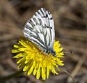 White - Pontia sisymbrii