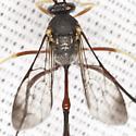 Unknown Ichneumon Wasp - female