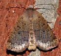 Unknown moth - Sericaglaea signata - female