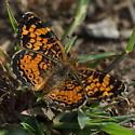 Orange and black pattern - Phyciodes tharos