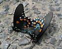 Pipevine Swallowtails mating. - Battus philenor