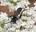 Wasp ID Request - Anoplius americanus