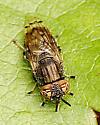 Fly with interesting eyes - Orthonevra nitida