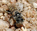 Calliopsis - female