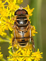 3015053 Syrphid - Palpada vinetorum - male