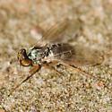 Long-legged Fly - Medetera bistriata
