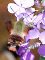 Hummingbird moth - Hemaris