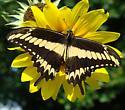 Ornythion Swallowtail - Papilio ornythion