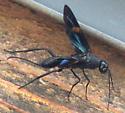 Aulacid Wasp  - Pristaulacus fasciatus - female