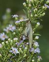 Long horned Grasshopper - Scudderia furcata - female