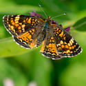 Unknown Butterfly - Phyciodes batesii - female