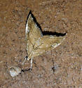 Lepidoptera ID - Scybalistodes periculosalis