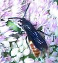 wasp - Scolia dubia - male