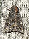 9348 Yellow-headed Cutworm Moth-Apamea amputatrix,  - Apamea amputatrix