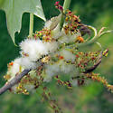 Woolly Catkin Gall Wasp - Callirhytis quercusoperator