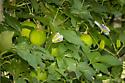 Agraulis vanillae - Gulf Fritillary caterpillar - Agraulis vanillae