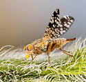 ID help, fruitfly? - Neotephritis finalis