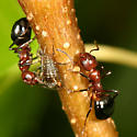 ants tending an aphid - Dolichoderus mariae