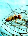 Syrphidae? flower fly - Toxomerus politus