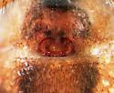 Epigynum - Agelenopsis potteri - female