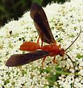 wasp - Trogus pennator
