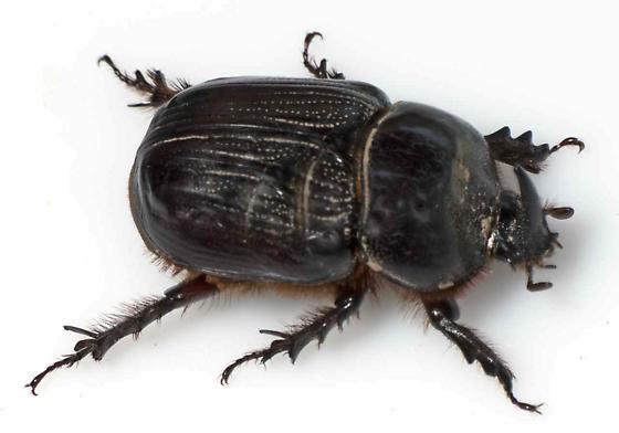 Coleptera - Xyloryctes jamaicensis