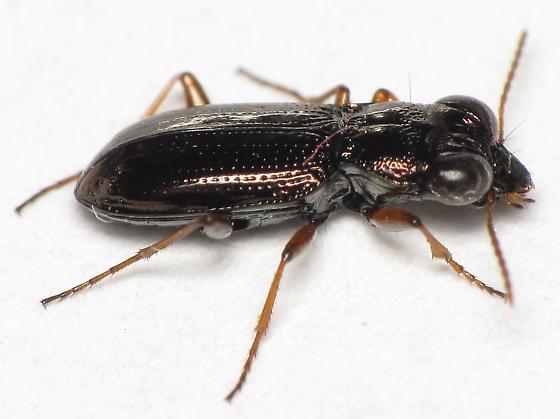 Notiophilus sp. - Notiophilus aeneus