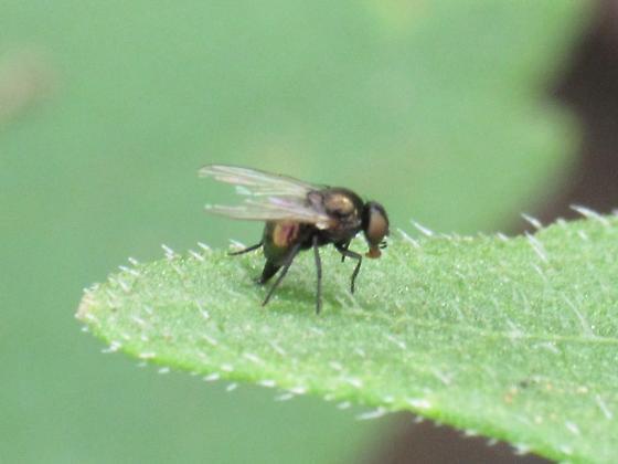Agromyzidae - female