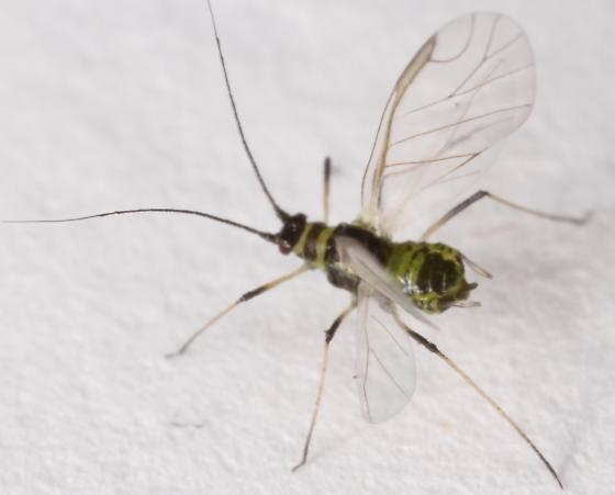Aphid - Hyperomyzus - female