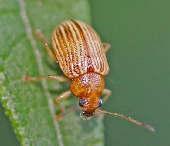 Leaf beetle? - Colaspis
